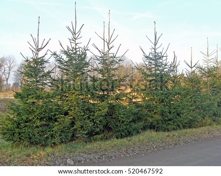 Hedge from high spruces or fir trees without trimming along the road.