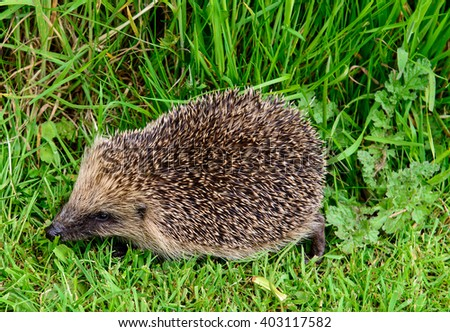 Hedge Hog,