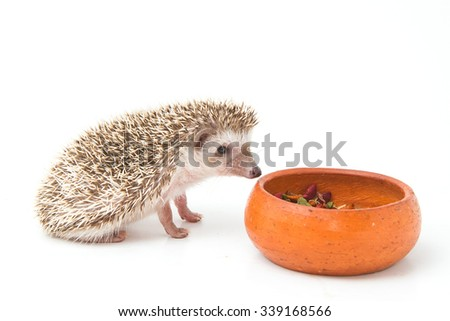 Hedgehog , African pygmy hedgehog eating on white background - stock photo