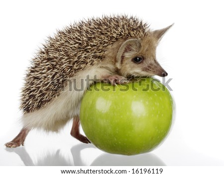 hedgehog and apple - stock photo