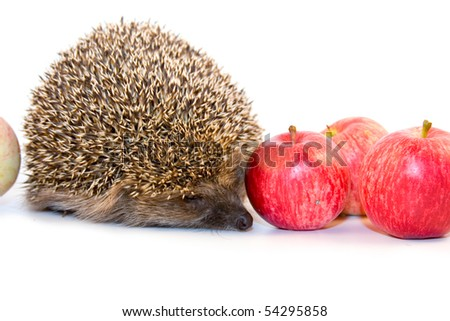 Hedgehog and apples isolated on white background - stock photo