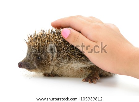 hedgehog and cover hand isolated. Small mammal with spiny hairs on its back and sides - stock photo