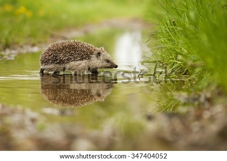 Hedgehog and the water - stock photo