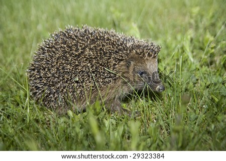 Hedgehog at night