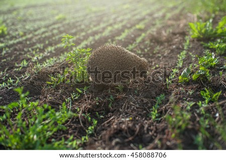 hedgehog at the field - stock photo