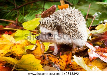 Hedgehog (Atelerix albiventris) walks with mushrooms on the back of the autumn forest - stock photo