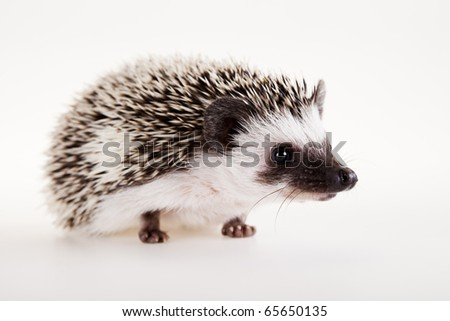 Hedgehog, Autumnal animal - stock photo