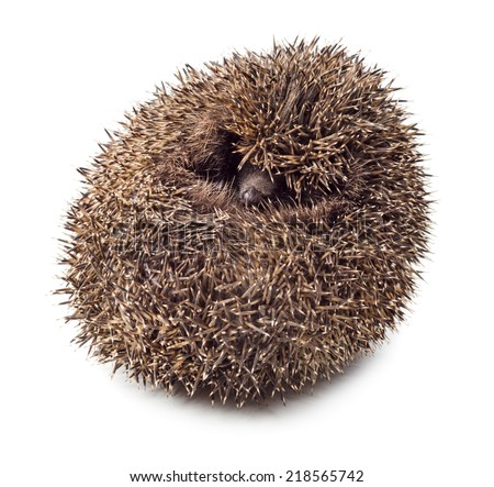 Hedgehog balled up isolated on white background. - stock photo