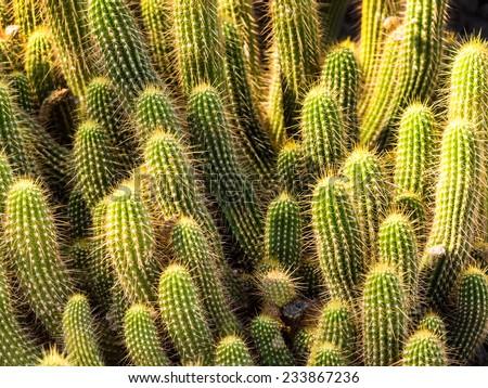 Hedgehog barrel cacti in a big bunch - stock photo
