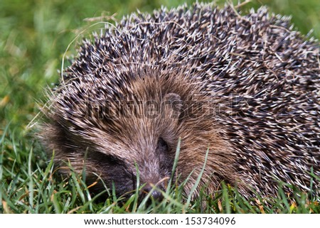 Hedgehog close up during daylight in the grass