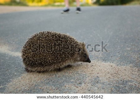Hedgehog cross the road. - stock photo
