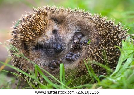 hedgehog curled  and sleeps ant awakes him - stock photo