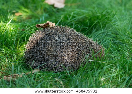 Hedgehog curled up on the lawn - stock photo