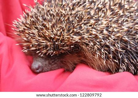 Hedgehog cut close-up - stock photo