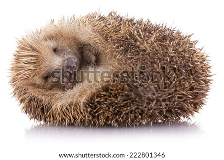 Hedgehog (erinaceus albiventris) sleeping, isolated on white background - stock photo