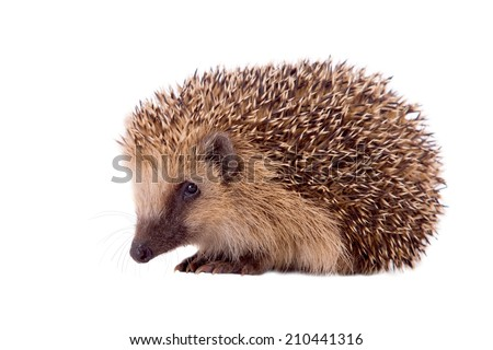 hedgehog, Erinaceus europaeus, isolated on white background - stock photo