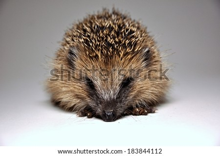 Hedgehog from the front on white background - stock photo