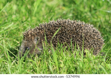 Hedgehog in a grass.