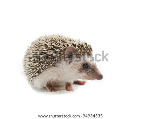 hedgehog  in front of a white background - stock photo