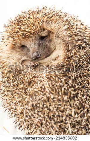 hedgehog in front of white background