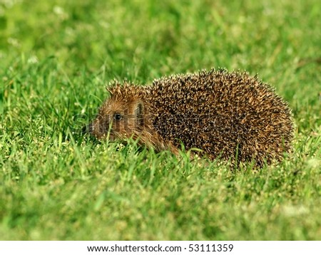 Hedgehog in green grass