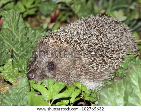 Hedgehog in spring garden - stock photo