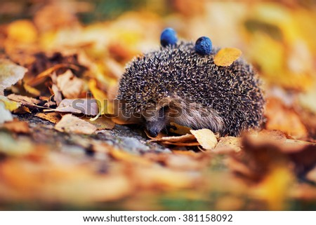 Hedgehog in the autumn foliage. On the back of it lie the blue plums and yellow leaves.  - stock photo