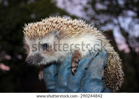 Hedgehog in the man's hand in a glove - stock photo