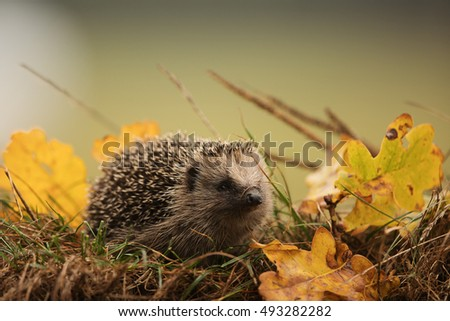 Hedgehog is scurrying