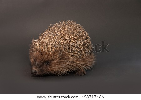 Hedgehog, isolated on gray background. - stock photo