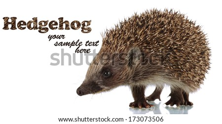 Hedgehog, isolated on white - stock photo