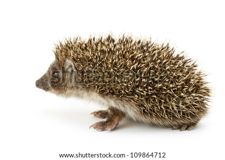 hedgehog isolated. Small mammal with spiny hairs on its back and sides - stock photo