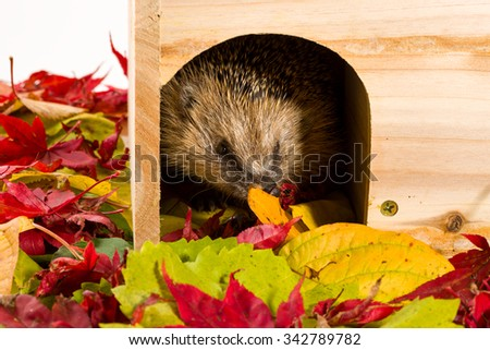Hedgehog leaving its wooden house surrounded by autumn leaves - stock photo