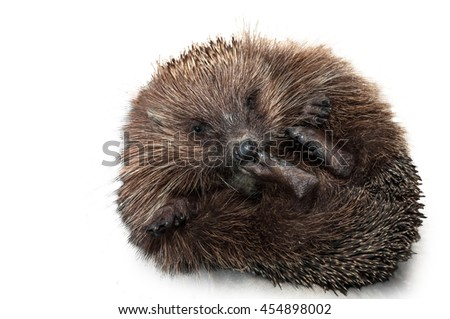 hedgehog lying on his back. isolated on white background. - stock photo
