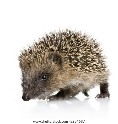 hedgehog (1 months) in front of a white background - stock photo