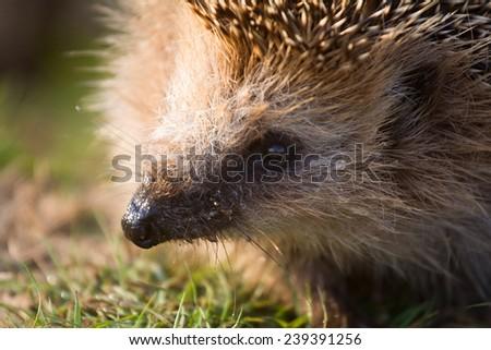 hedgehog  needle wild animal close up - stock photo