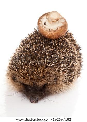 hedgehog on a white background. Hedgehog with mushroom - stock photo