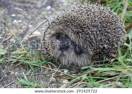 Hedgehog on back curled ball on a forest path - stock photo