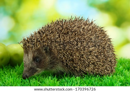 Hedgehog on grass, on green background