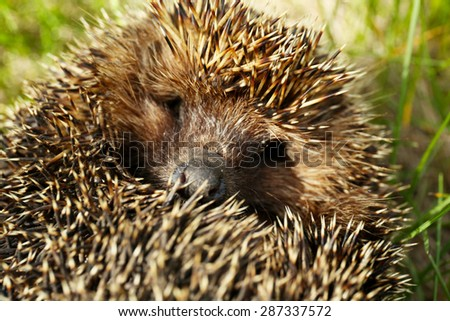Hedgehog on green grass outdoors - stock photo