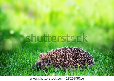 hedgehog on green lawn in backyard