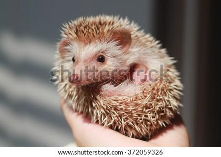 Hedgehog on hand holding - stock photo