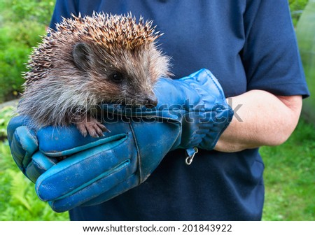 hedgehog on the gloves - stock photo