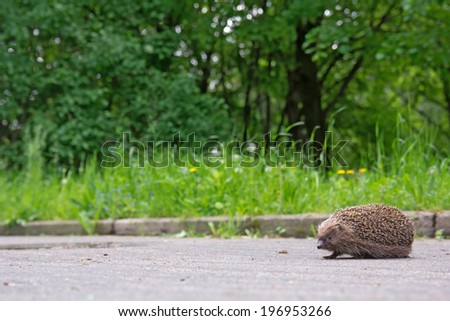 Hedgehog on the sidewalk in the park - stock photo