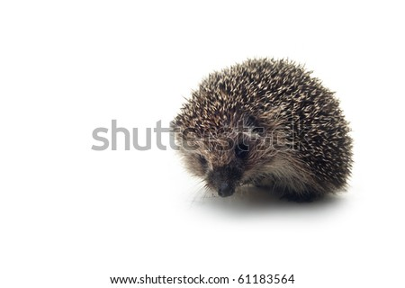 hedgehog on the white isolated background