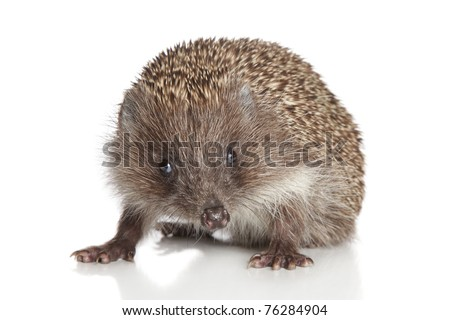 Hedgehog posing on a white background