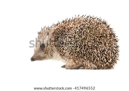 Hedgehog sitting isolated on white background, side view - stock photo