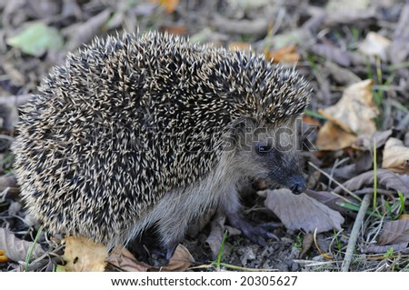 hedgehog sitting on the ground - stock photo