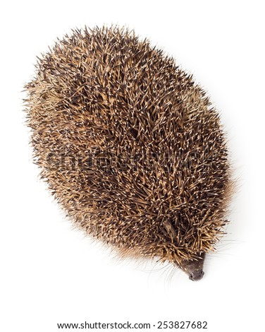 Hedgehog top view isolated on white background - stock photo