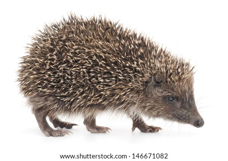 Hedgehog, 3 weeks old on white background